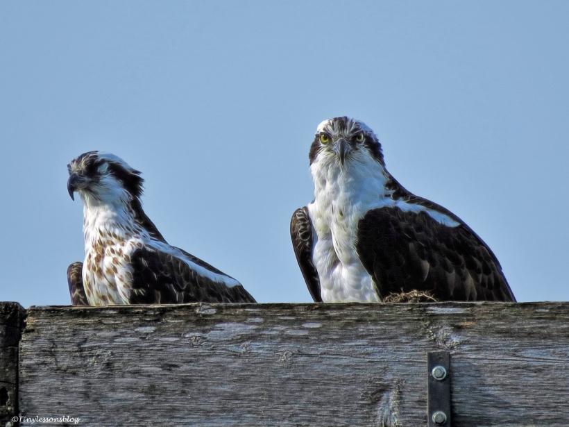 mama osprey sleeps papa osprey watches ud39